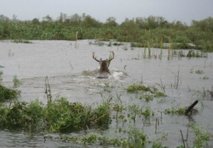 Deer in Water - Mississippi Flooding